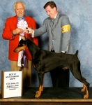 UCI-IABCA BIS Int'l Ch/UKC MBIMBS GrCh Bravehart's Winter Warrior CGC.  Crosby is growing up looking better everyday.